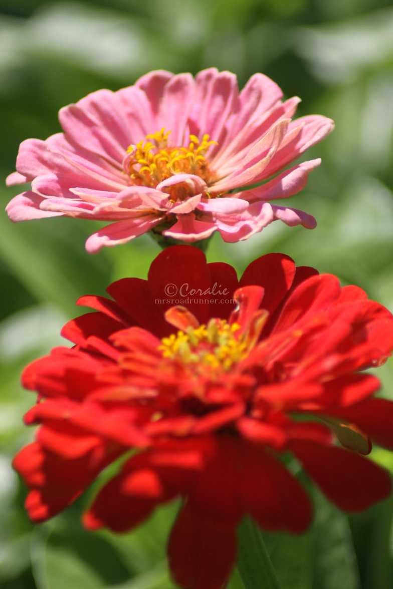 colors of the zinnia flowers 2792