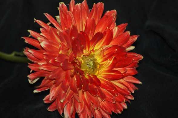 dahlia flower 012