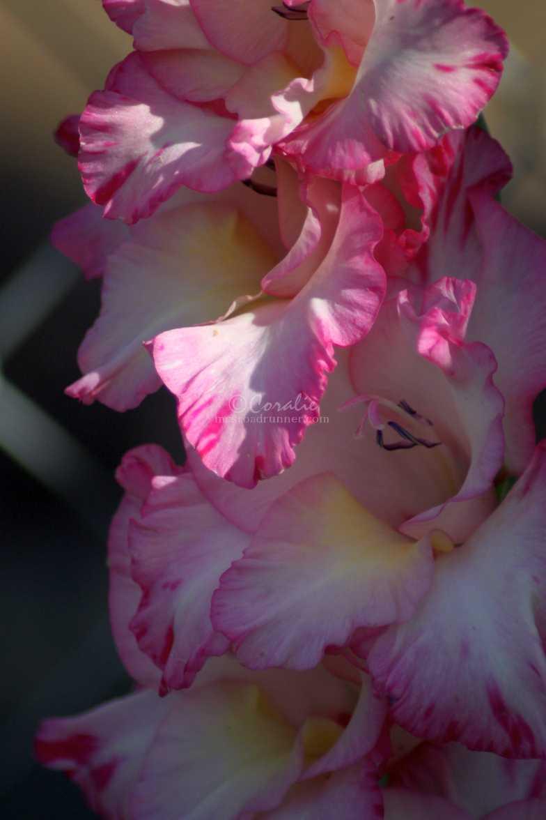 glad flower 340