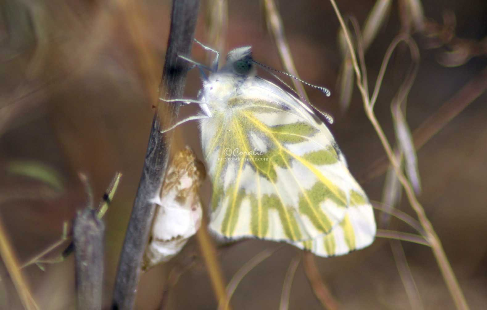 green-veined white Pieris napi butterfly 581