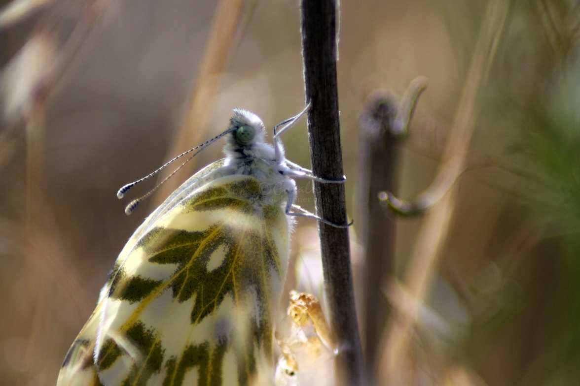 green-veined white Pieris napi butterfly cocoon 764