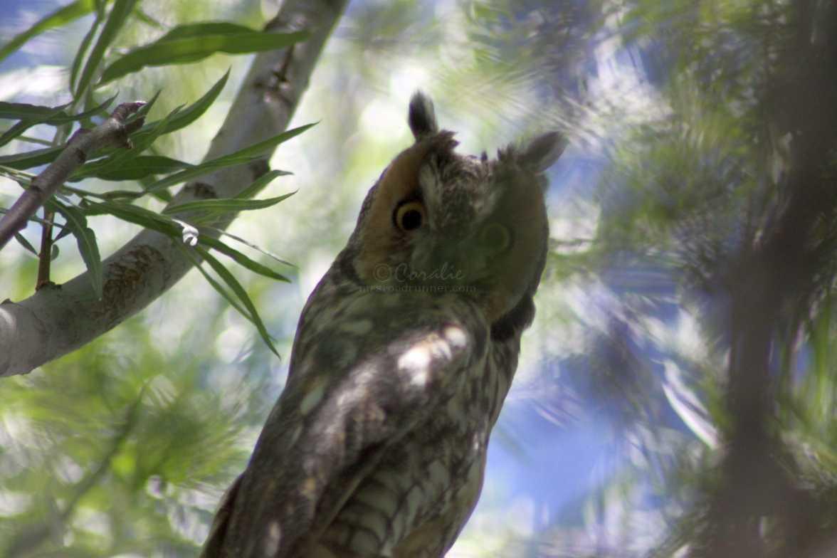 long eared owl 1443