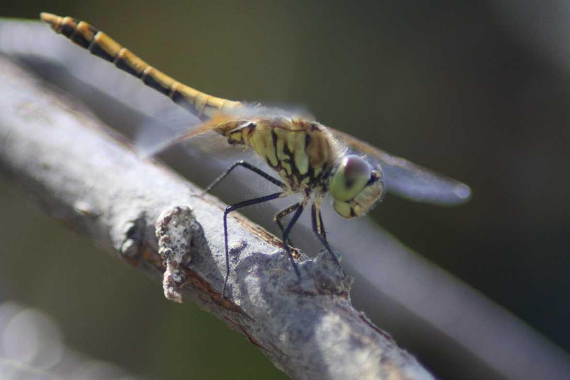 meadowhawk dragonfly 227
