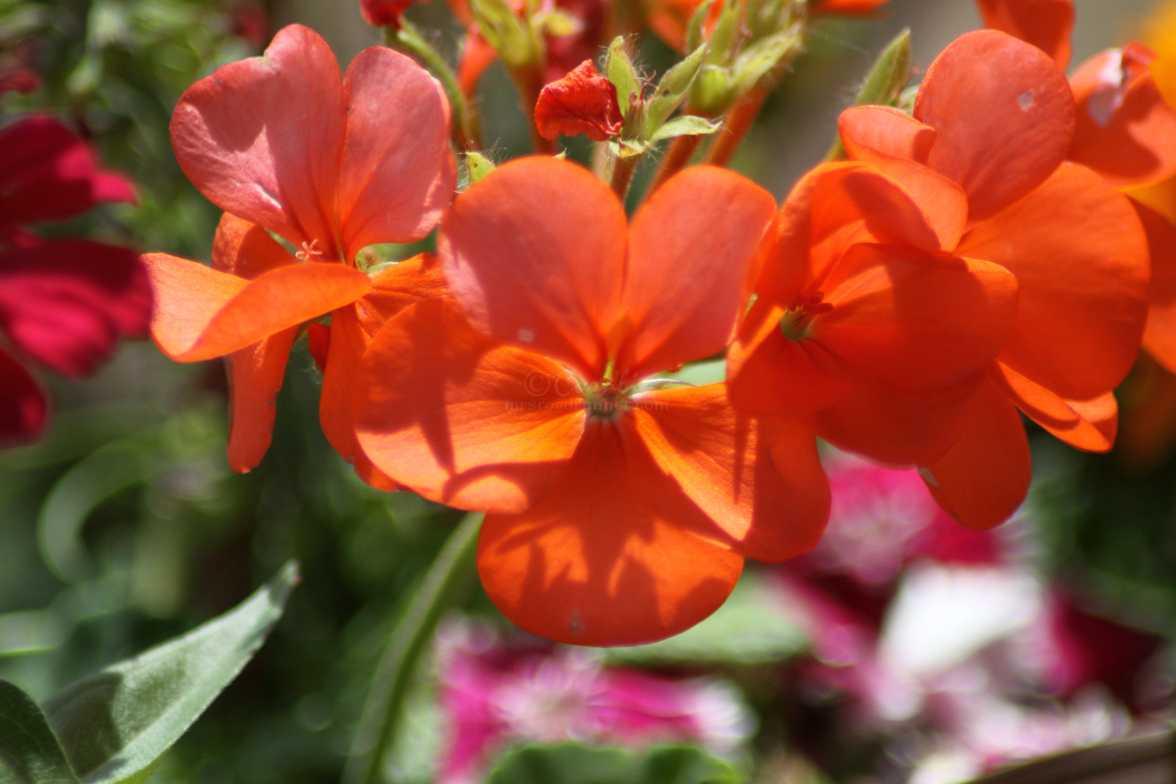 orange petals 186