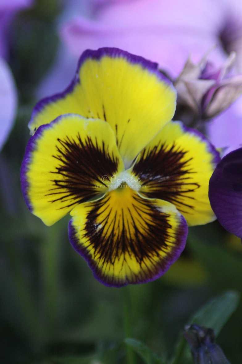 pansy flower 062