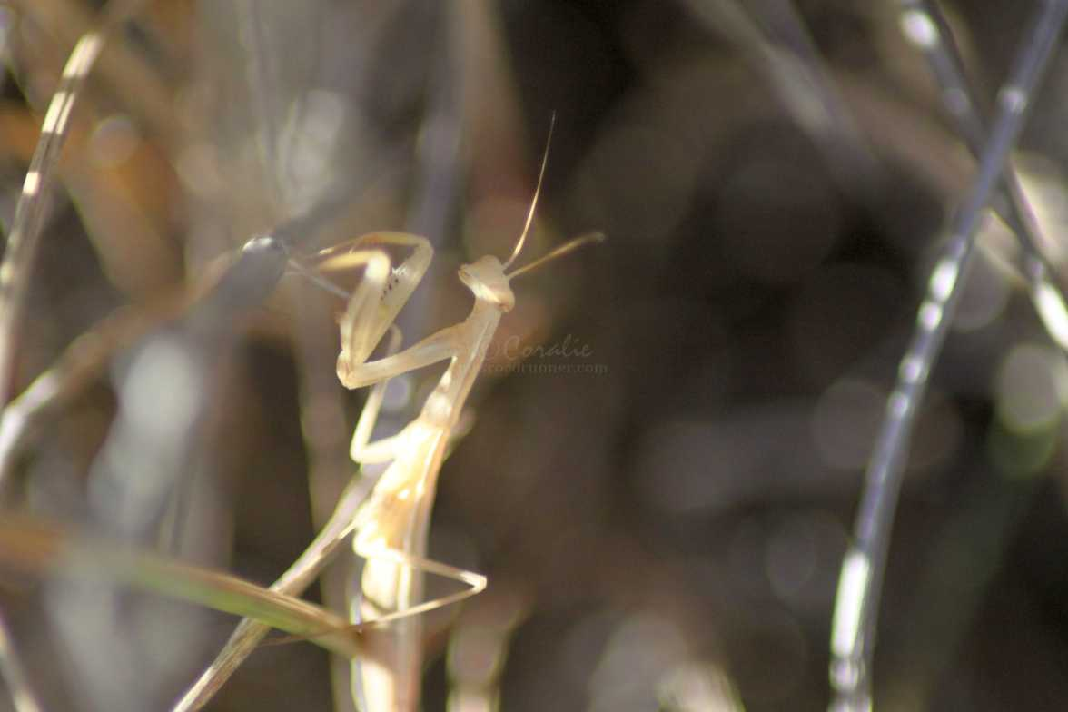 praying mantis 063