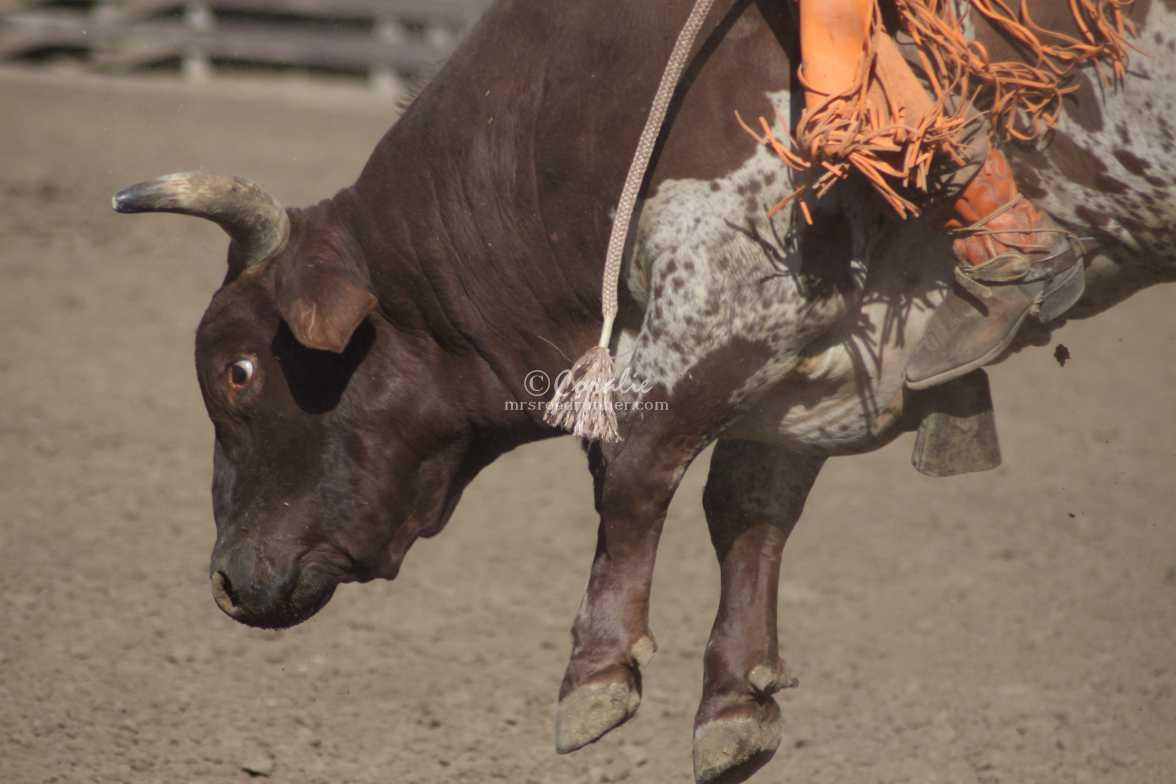 rodeo bull 2990