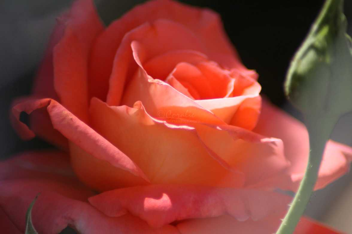 rose flower 020