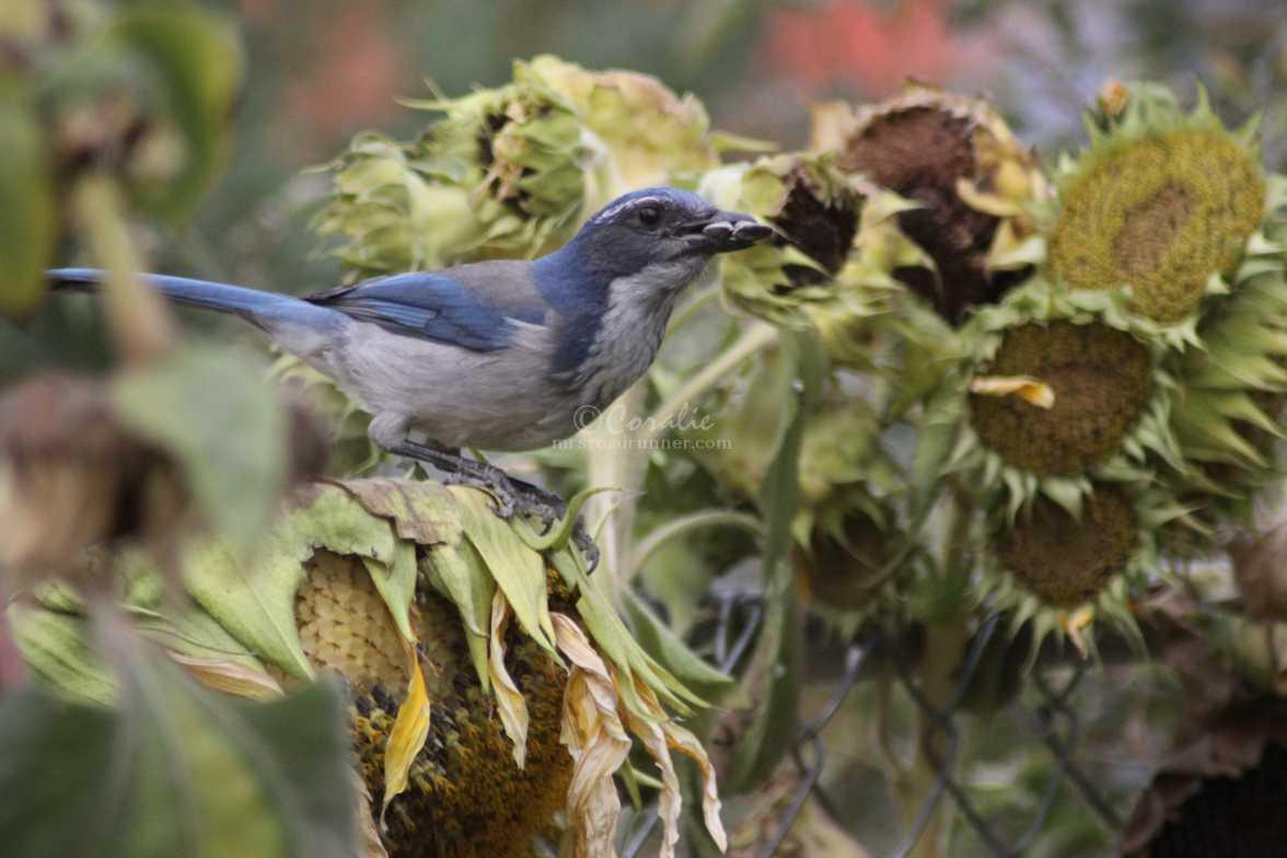 scrub jay bird 1036