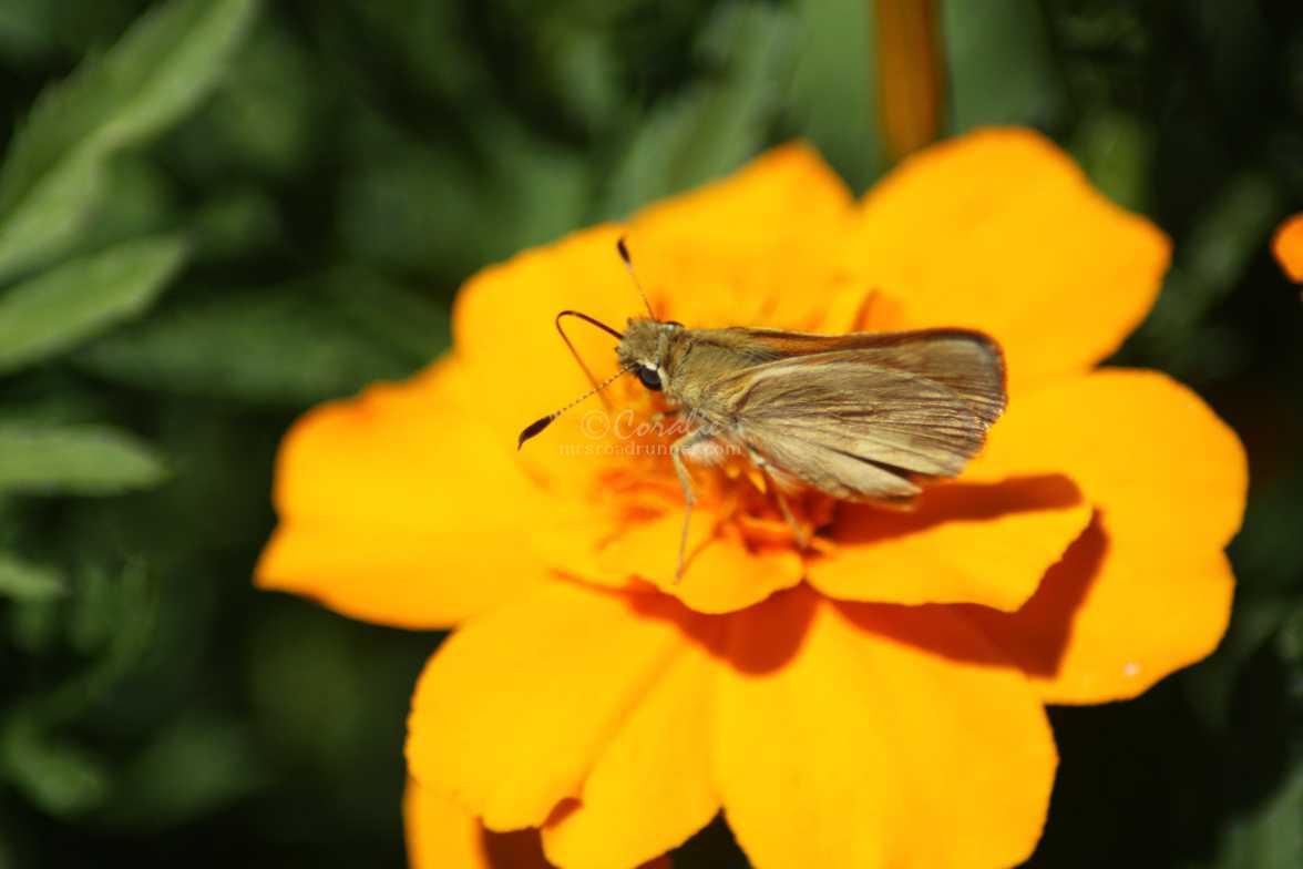 skipper butterfly 2979