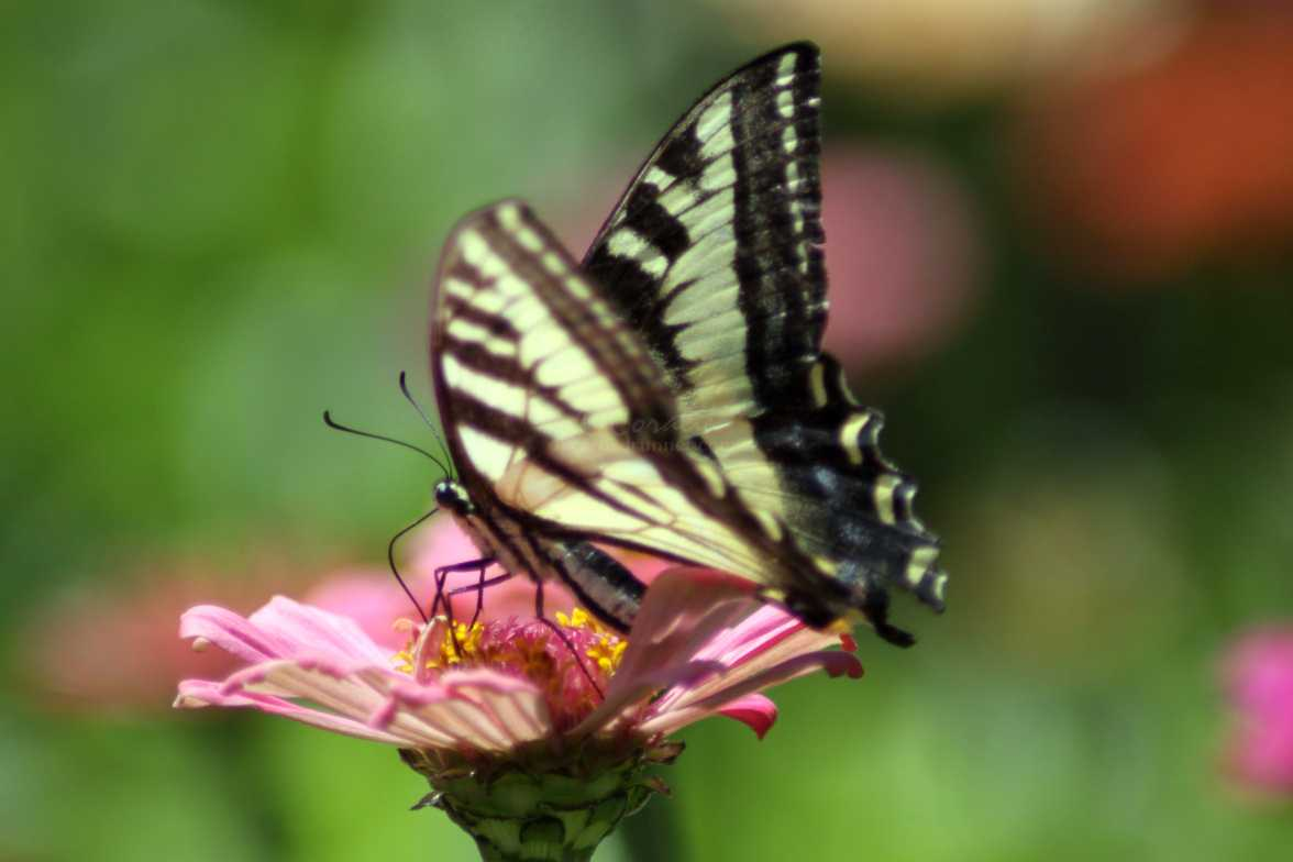 swallowtail butterfly 113