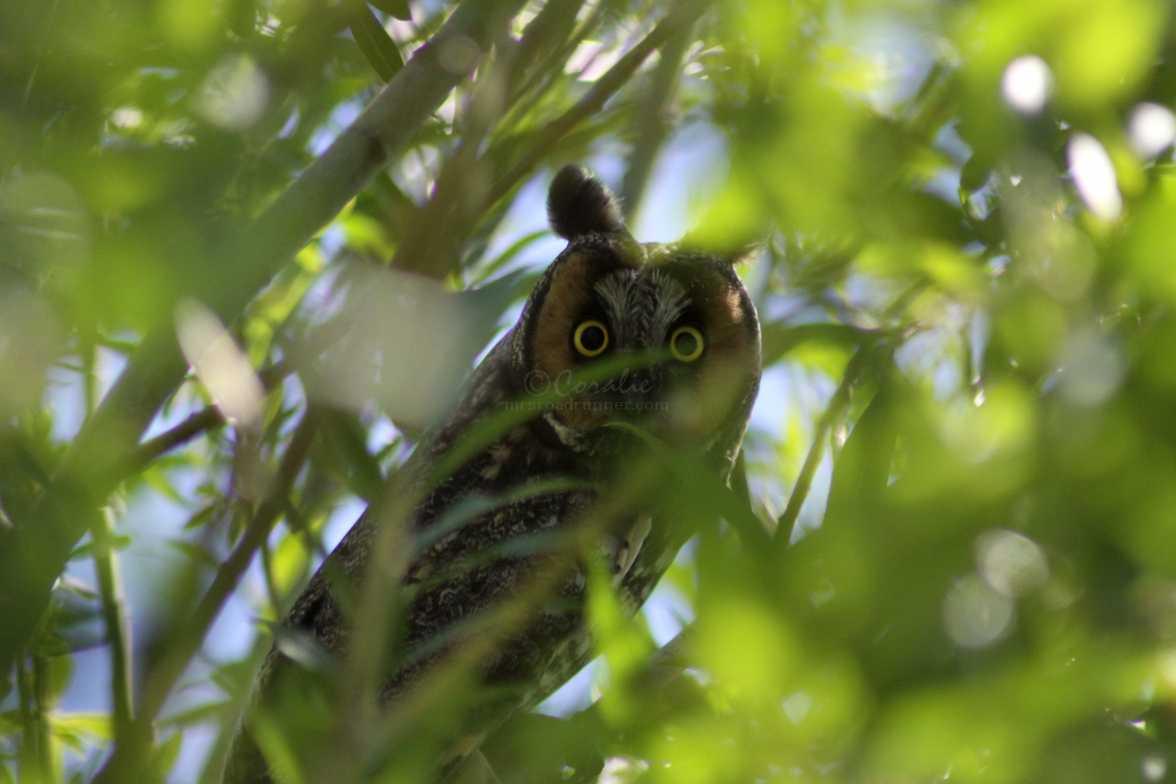 those eyes long eared owl 1275