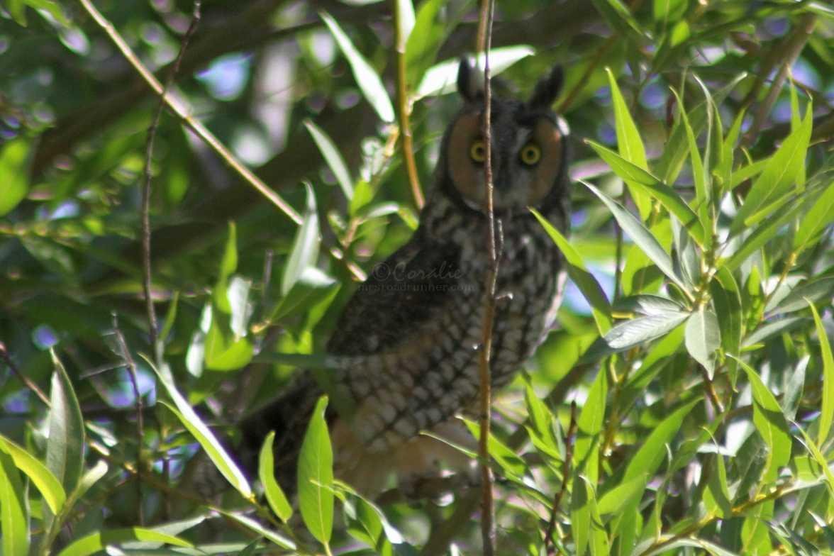 you watching me watching you long eared owl 74