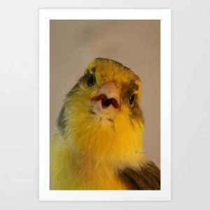 Singing Canary Art Print