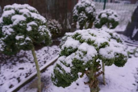 sneeuw in de moestuin, sneeuw op borenkool begin februari