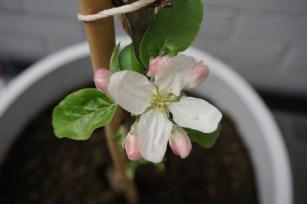 """patio-appel """"macintosh"""" begint te bloeien"""