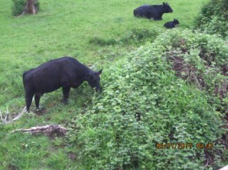 A view from the bridge shows a Black Angus cow nibbling on blackberries.