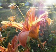 Sunlight and daylilies