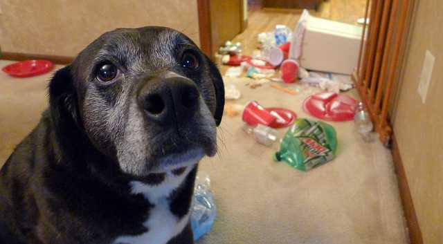 Guilty dog looking sad while pile of trash behind