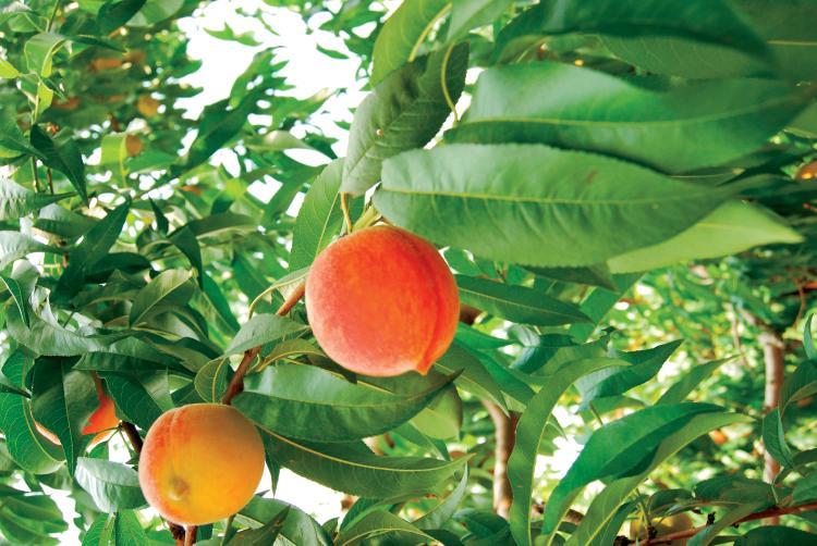 South Carolina peaches in a tree