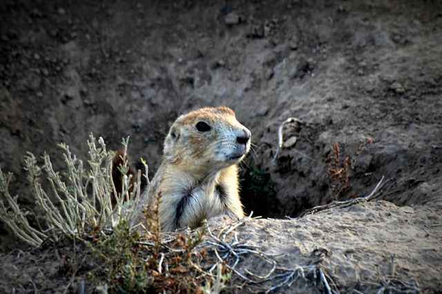 Prairie Dog peeking it's head out from a whole