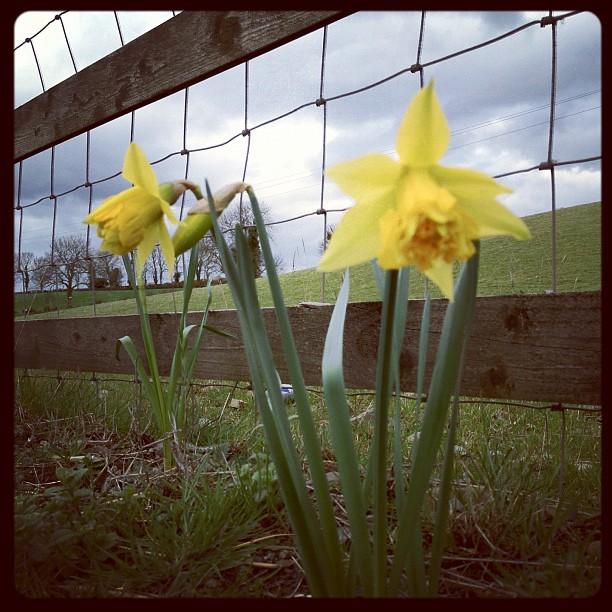 20120301 Spring daffodils