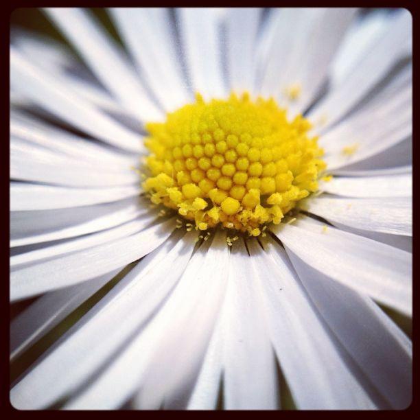 20120516 Macro daisy
