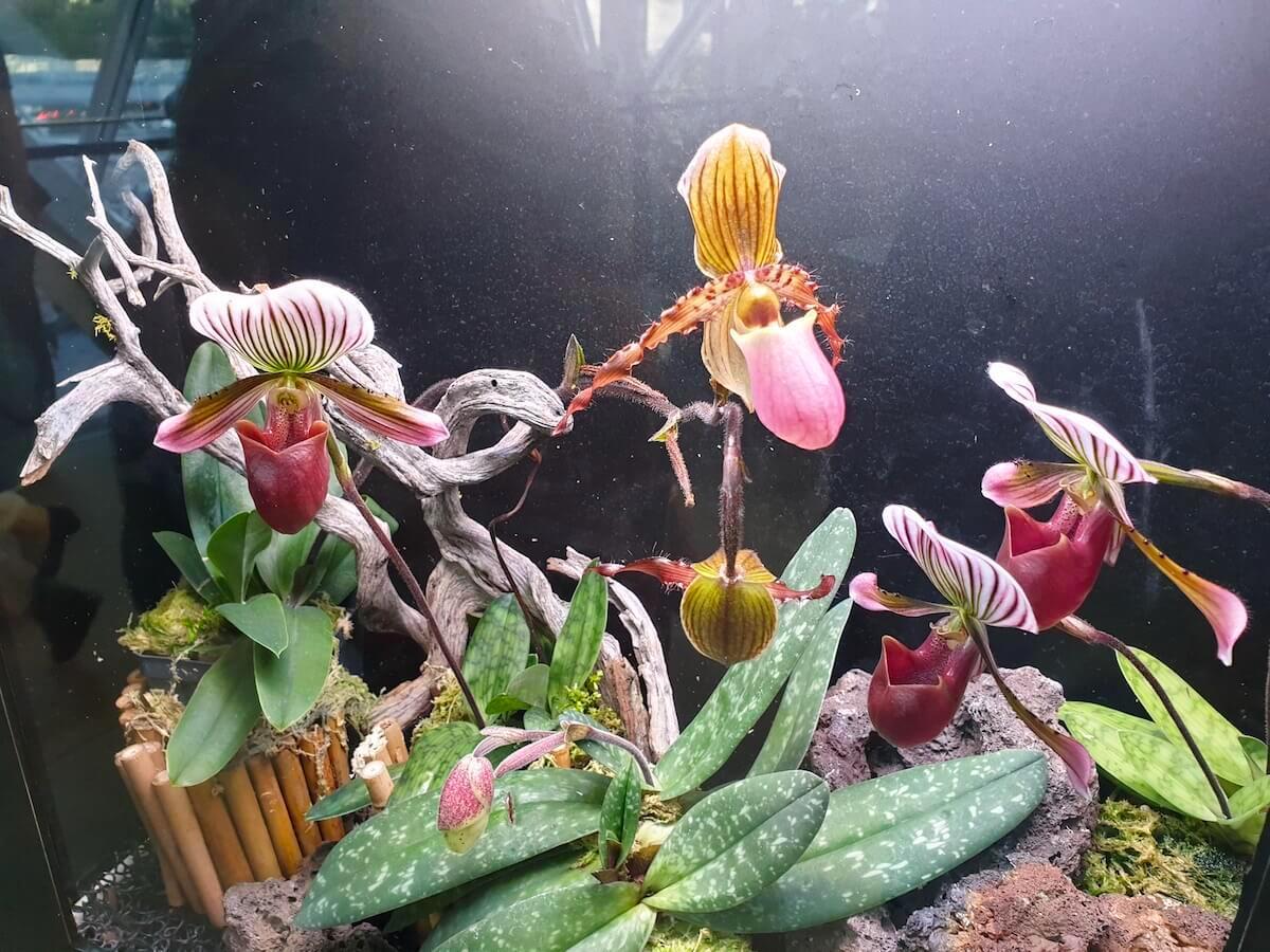lady's slipper orchids 20190611_175213.jpg