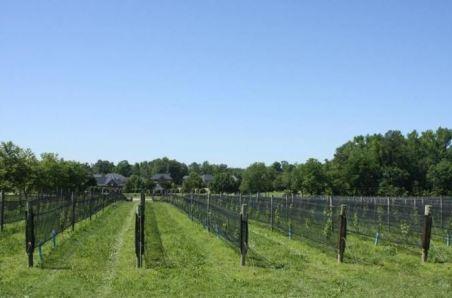 the vineyards at williamsburg winery