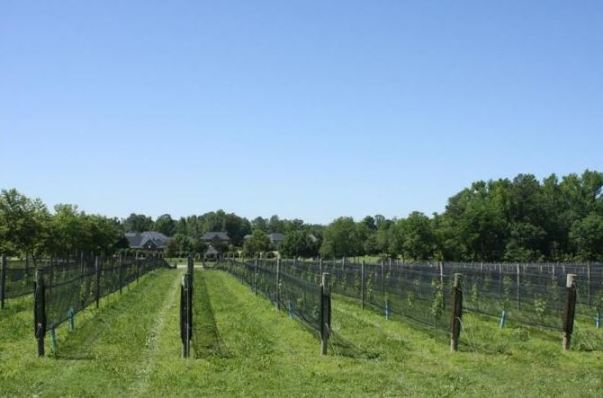 the vineyards at williamsburg winery