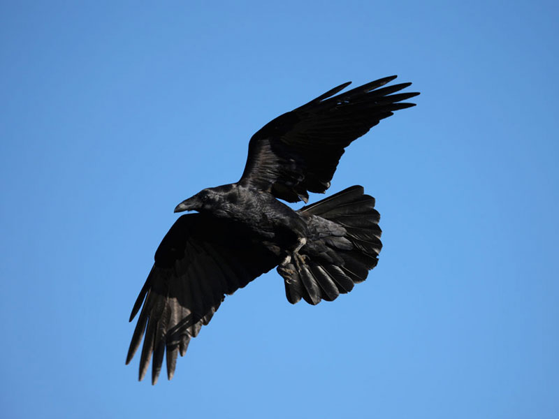 Crows are big birds that can absorb shot that would kill a dove and fly away.