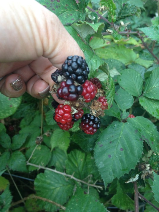 Not sure that these laggard blackberries will ever ripen now.