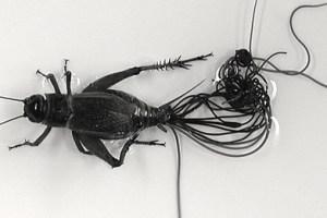 Nematomorph Biodiversity Survey :: Museum of Southwestern