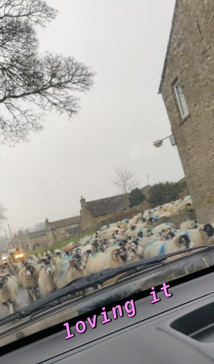 Sheep, Car, Surrounded, Farms