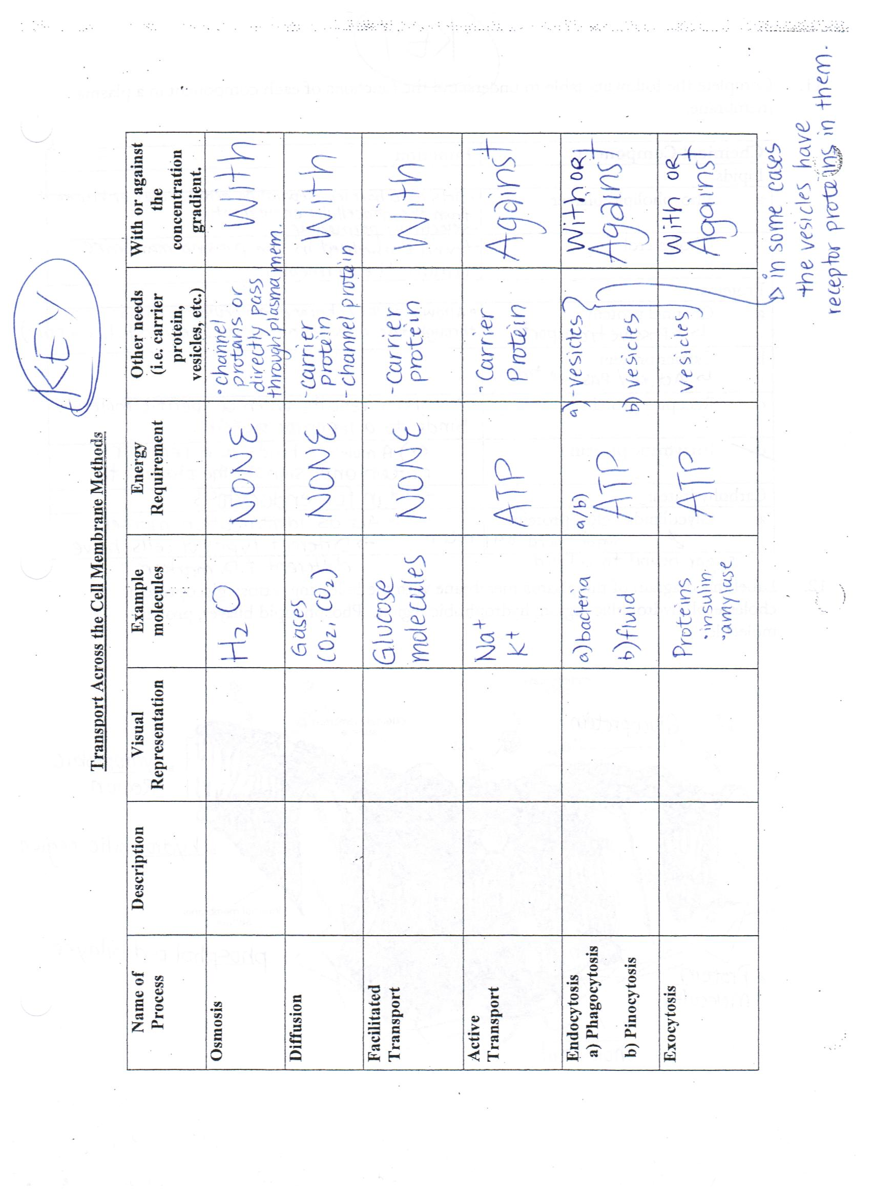Membrane Transport Worksheet Answers