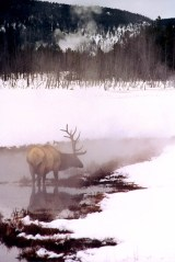 Yellowstone Elk