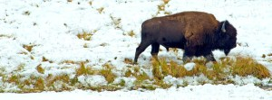 YELLOWSTONE BISON SNOW