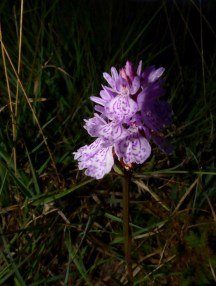 I'm new to wildflowers, but thought maybe a Spotted Heath orchid, Lulworth Ranges.