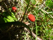 Wild strawberries! Very yummy