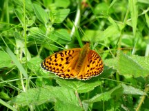 A Dark Green Fritillary