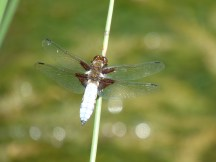 A male Broad-bodied Chaser Dragonfly
