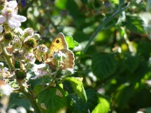 A Meadow Brown Butterfly hiding behind flowers