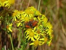 Small Copper Butterfly (L.phlaeas)