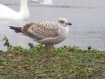 I believe a first winter Herring Gull?
