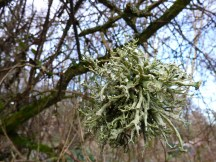 A ball of lichen