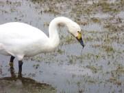 Bewick's Swan (C.columbianus)