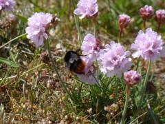 Red-tailed Bumblebee (Bombus lapidarius), queen