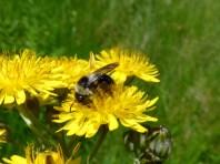 Ashy Mining Bee, Andrena cineraria