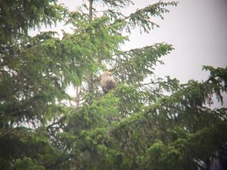 White-tailed Sea Eagle (Haliaeetus albicilla), phone-scoped. (c) Matthew Bruce
