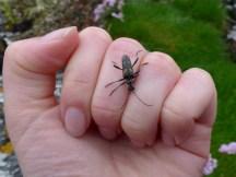 Two Banded Longhorn Beetle (Rhagium bifasciatum)